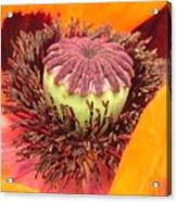 Pod Poppy Acrylic Print