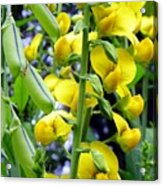 Pods And Blooms Acrylic Print