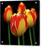 Poetically Tulip Acrylic Print
