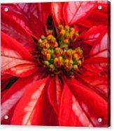 Poinsettia 845 Acrylic Print