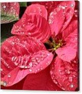 Poinsettia Christmas Dew Acrylic Print