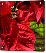 Poinsettias - Flaming Reds Acrylic Print