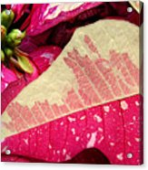 Poinsettias -  Painted And Speckled Up Close Acrylic Print