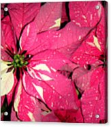 Poinsettias -  Red And White Speckled Acrylic Print
