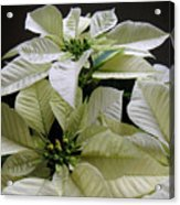 Poinsettias -  Winter White At Night Acrylic Print