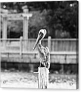 Point Clear Alabama Brown Pelican - Bw Acrylic Print