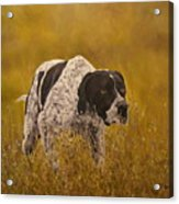 Pointer...to The Point....... Acrylic Print