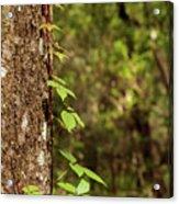 Poison Ivy Climbing Oak Tree Trunk Acrylic Print