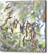 Pokeberry Light Acrylic Print