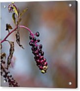 Pokeweed Berries 20121020_134 Acrylic Print