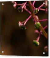 Pokeweed Emerges Acrylic Print