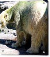 Polar Bear 2 Acrylic Print