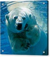 Polar Bear Contemplating Dinner Acrylic Print