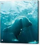 Polar Bear Swim Acrylic Print