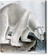 Polar Bear (ursus Maritimus) Acrylic Print