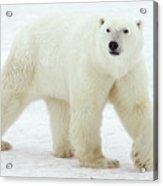 Polar Bear Ursus Maritimus Male Acrylic Print