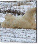 Polar Bear Yoga Acrylic Print