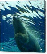 Polar Swim Acrylic Print