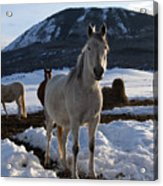 Polish Arab Horse Family Acrylic Print