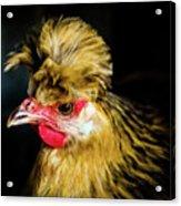 Polish Hen Acrylic Print