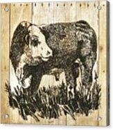 Polled Hereford Bull 11 Acrylic Print