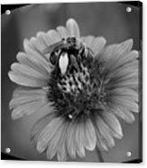 Pollen Collector Bw Acrylic Print