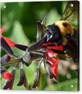 Pollen Covered Bee Acrylic Print