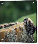 Pollen Dusted Bee Acrylic Print