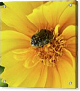 Pollen Feeding Beetle Acrylic Print