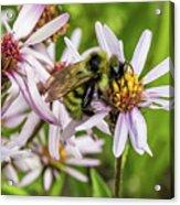 Pollen Gathering Acrylic Print