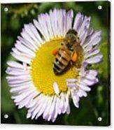 Pollen Harvest Acrylic Print