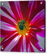 Pollenator Acrylic Print