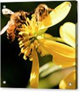 Pollinating Bees Acrylic Print