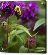 Pollinating Bumble Bee Acrylic Print