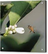 Pollination Acrylic Print