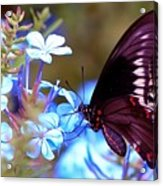 Polydamas Swallowtail Butterfly Acrylic Print