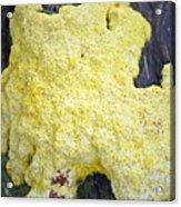 Polymyxa Slime Mold Acrylic Print