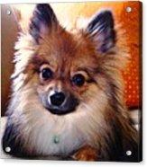 Pomeranian Contemplation Acrylic Print
