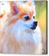 Pomeranian Portrait Acrylic Print