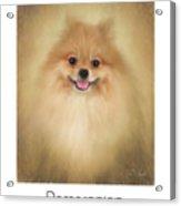 Pomeranian Poster Acrylic Print