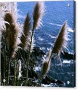 Pompas Grass2 Acrylic Print