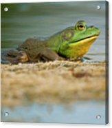 Pond Frog 2 Acrylic Print