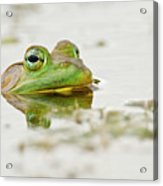 Pond Frog 4 Acrylic Print