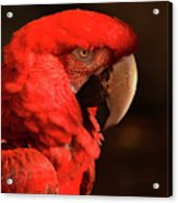 Pondering Parrot Acrylic Print