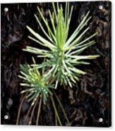 Ponderosa Pine 3 Acrylic Print