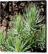 Ponderosa Pine 7 Acrylic Print