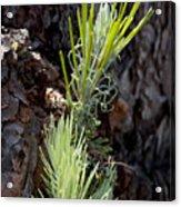 Ponderosa Pine 8 Acrylic Print