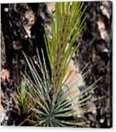 Ponderosa Pine 9 Acrylic Print