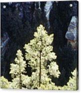 Ponderosa Pines Acrylic Print