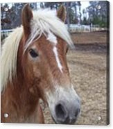 Pony Acrylic Print